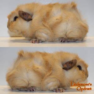 Lindemoses Azusa Ratata