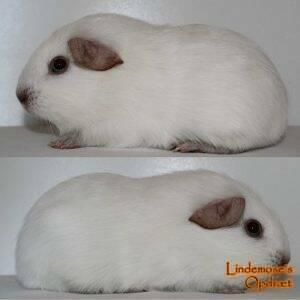 Lindemoses Kokos
